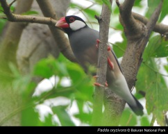 Burung gelatik jawa. Sumber : www.balurannationalpark.w
